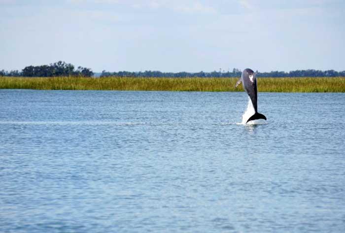 Dolphin Jumping Tybee Island