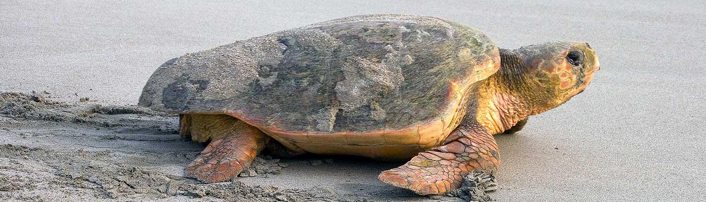 Wassaw Island Loggerhead Turtle